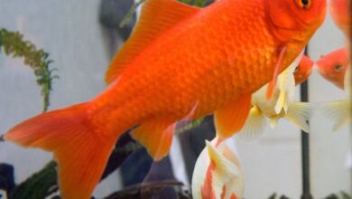Photo of How To Tell If Goldfish Is Male Or Female?