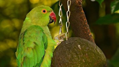 Photo of What do I need to know before getting a Parakeet?